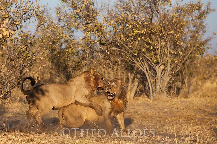 Botswana, Chobe National Park, Savuti, young male lions (Panthera leo) play-fighting