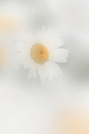 Oxeye Daisy (Chrysanthemum leucanthemum) is a wildflower that was introduced from Europe and now grows throughout much of North America.  It's shown here peeking through a veil of out-of-focus petals.