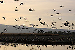 Israel, Upper Galilee, Cranes at the Hula lake
