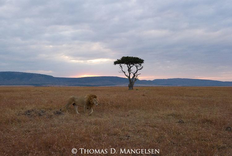 A lion travels the Maasai Mara plain in Kenya at sunrise.