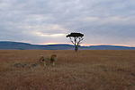 A lion travels the Maasai Mara plain in Kenya at sunrise.