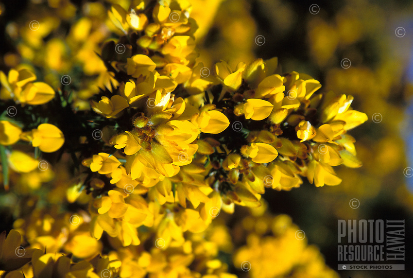 Gorse, Ulex europeus, an invasive species introduced from western Europe now invading thousands of acres of pasture on Maui and the Big Island
