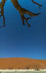 Namibia, Namib-Naukluft National Park, Sossusvlei , acacias