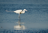 Reddish Egret, Very uncommon White Morph, standing in water at Merritt Island