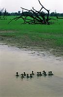 filhotes de patos selvagens na Estação Ecológica de Cuniã - Rondônia. Dezembro de 2003