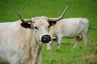 White Park cow, Llandeilo, Wales....Copyright..John Eveson, Dinkling Green Farm, Whitewell, Clitheroe, Lancashire. BB7 3BN.01995 61280. 07973 482705.j.r.eveson@btinternet.com.www.johneveson.com