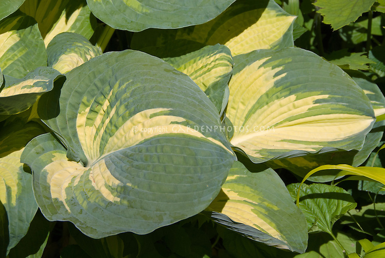Hosta great expectations yellow center with blue green edges hosta great expectations yellow center with blue green edges mightylinksfo