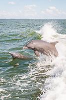 Atlantic Bottlenose Dolphin dances in Pine Island Sound, Captiva Island, Florida, USA. Photo by Debi Pittman Wilkey