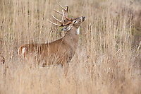 White-tailed Deer Buck (Odocoileus virginianus) in late fall.