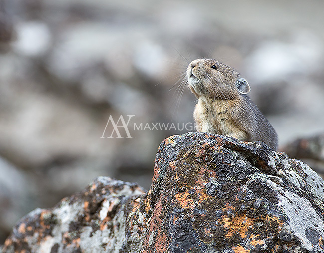 An American pika sounds an alarm call.