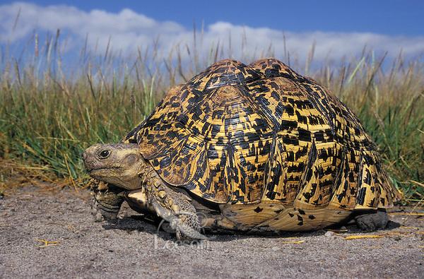 Leopard Tortoise (Geochelone pardalis) in Serengeti National Park, Tanzania, Africa.