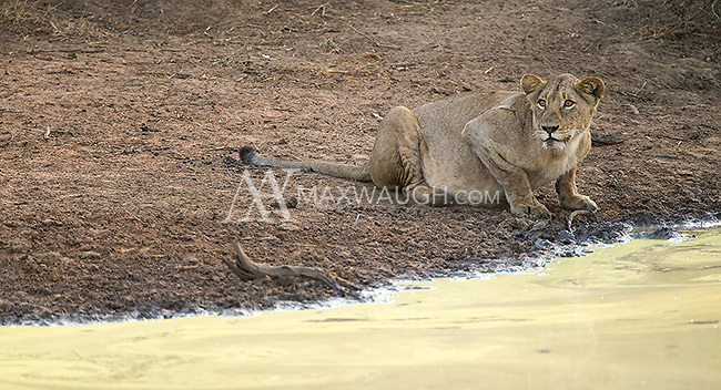 We saw a number of lions in Kruger National Park.