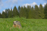 Alpine Marmot (Marmota marmota), Alps, Italy