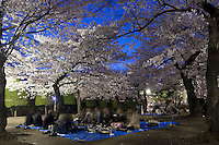 Night Cherry Blossom Party, under the flowering sakura trees in Matsumoto.
