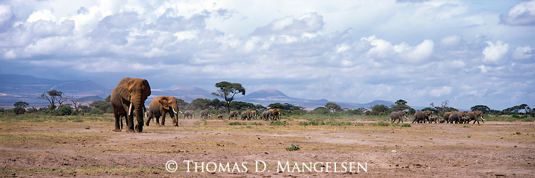 Elephants travel the long journey to a watering hole in Amboseli National Park, Kenya.
