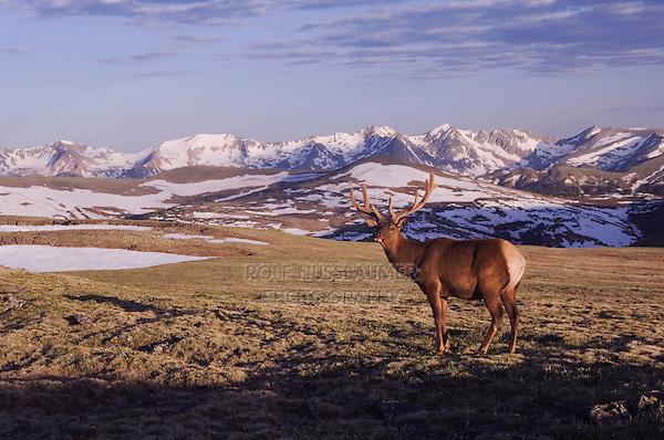 Elk, Wapiti, Cervus elaphus,bull in velvet on alpine tundra,Rocky Mountain National Park, Colorado, USA, June 2007