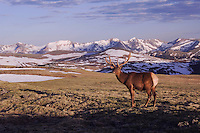 Elk, Wapiti, Cervus elaphus,bull in velvet on alpine tundra,Rocky Mountain National Park, Colorado, USA, June 2007