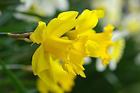 Close-up of Daffodils (Narcissus) at Dunsop Bridge, Lancashire.