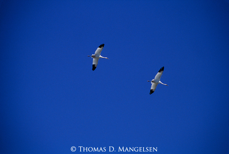 Whooping crane pair flying overhead against blue sky.