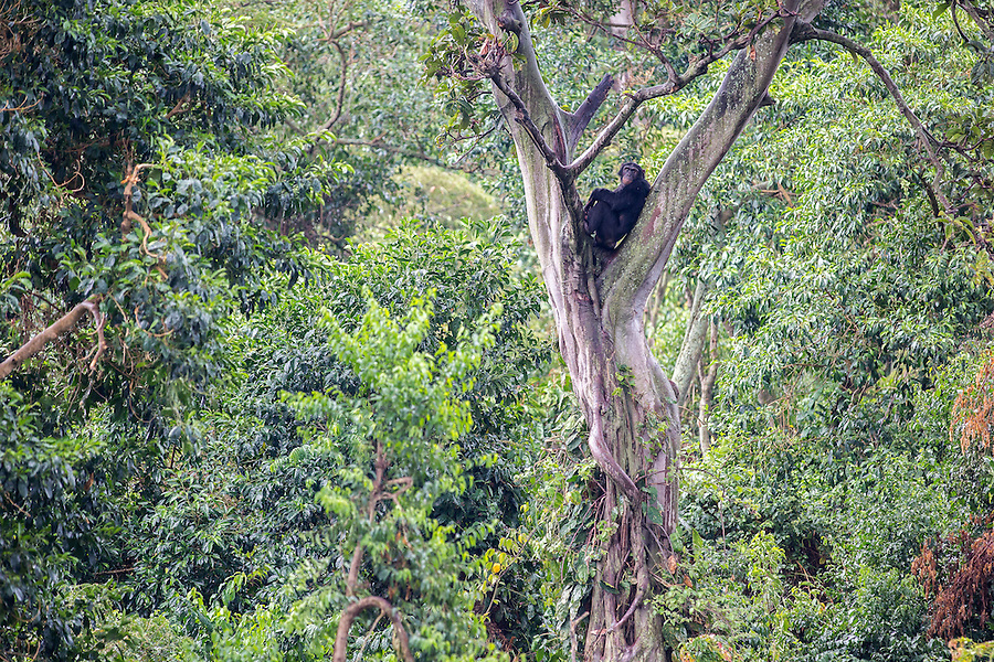 A chimpanzee sits in the crook of a tree in the Ngamba Island Chimpanzee Sanctuary in Lake Victoria, Uganda. 03/15 Julia Cumes/IFAW
