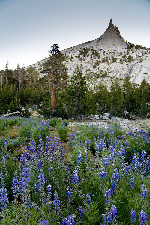 At the base of Cathedral Peak,meadows are filled with wildflowers during July-Yosemite NP