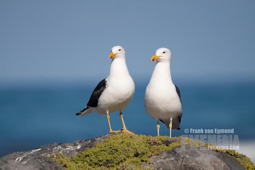 Cape Gull (Larus dominicanus), Gansbaai, South Africa.