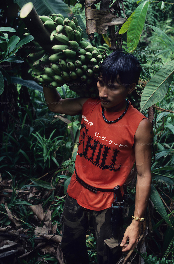 DAYAK, MALAYSIA. Sarawak, Borneo, South East Asia. Dayak , 'Kelabit', collecting bananas. Tropical rainforest and one of the world's richest, oldest eco-systems, flora and fauna, under threat from development, logging and deforestation. Home to indigenous Dayak native tribal peoples, farming by slash and burn cultivation, fishing and hunting wild boar. Home to the Penan, traditional nomadic hunter-gatherers, of whom only one thousand survive, eating roots, and hunting wild animals with blowpipes. Animists, Christians, they still practice traditional medicine from herbs and plants. Native people have mounted protests and blockades against logging concessions, many have been arrested and imprisoned.
