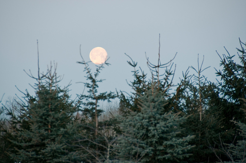 The full moon over a spruce windbreak.