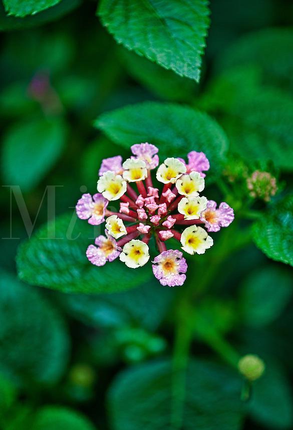Garden flower in bloom.