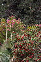 Callistemon 'Little John' Dwarf bottlebrush flowering shrub in Los Angeles Botanic Garden with Xanthorrhoea quadrangulata and Callistemon 'Perth Pink'