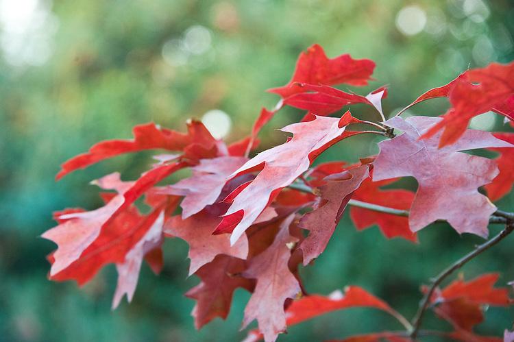 Quercus coccinea 'Splendens', early November. A form of Scarlet Oak.