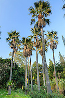 Le Domaine du Rayol:<br /> dans le jardin d'Amérique subtropicale, bosquet de palmiers washingtonia (Washingtonia robusta).