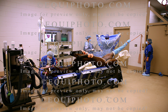 A thoroughbred yearling is prepared for arthroscopic surgery at the New Jersey Equine Clinic in Millstone Township, N.J.   Photo By Bill Denver/EQUI-PHOTO.