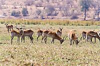 Red Lechwe, Chobe Riverfront, Botswana