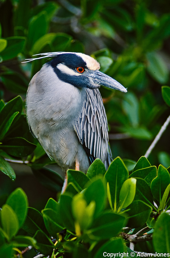 Black-crowned Night Heron, Nycticorax nycticorax, J.N. Ding Darling National Wildlife Refuge, Sanibel Island, Florida.