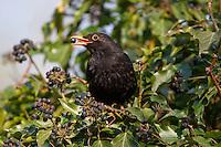Amsel, Schwarzdrossel, Schwarz - Drossel, Männchen, frisst an reifen Efeufrüchten im Frühjahr, Turdus merula, Blackbird, Merle noir