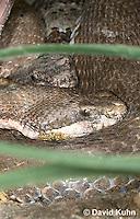0513-1102  Banded Rock Rattlesnake (Green rattlesnake, Green Rock Rattlesnake, Montane Rattlesnake), Southwestern United States, Crotalus lepidus klauberi   © David Kuhn/Dwight Kuhn Photography
