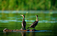 Double-Crested Cormorants.
