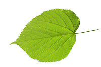 Amerikanische Linde, Tilia americana, American basswood, American linden, Le Tilleul d'Amérique. Blatt, Blätter, leaf, leaves