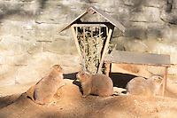3 prairie dogs in their habitat in an European Zoo.<br /> Prairie dogs are herbivorous burrowing rodents native to the grasslands of North America. The five species are: black-tailed, white-tailed, Gunnison's, Utah, and Mexican prairie dogs