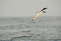 Northern gannet or booby. Morus bassanus, plunge diving, Bass Rock, Scotland, Great Britain, North Sea, Atlantic Ocean