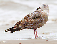 First-winter herring gull
