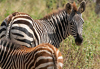 Adult and juvenile Grant's Zebras, Equus quagga boehmi, in Tarangire National Park, Tanzania