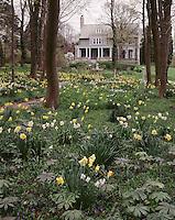 Blythewold, Bristol RI daffodil garden