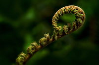 CLOSE UP OF FERN OPENING UP. Trengwidden Gardens, England, Cornwall