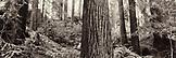 USA, California, old growth redwood trees, Avenue of the Giants, Eureka (B&W)