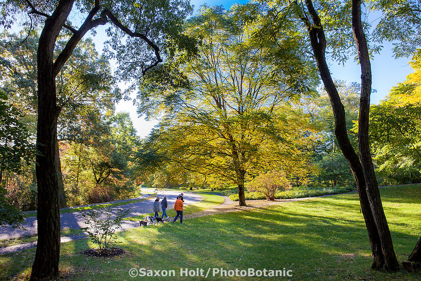 Dog walkers on morning hike through Arnold Arboretum in autumn with Gymnocladus dioicus, Kentucky Coffeetree