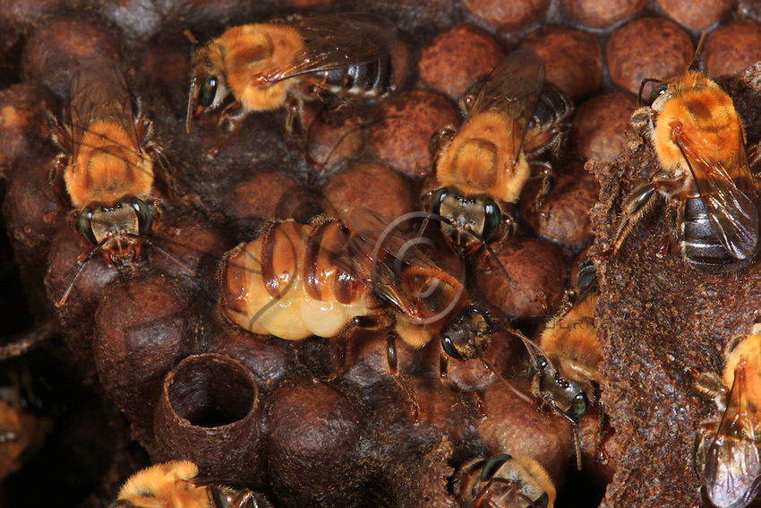 The queen bee, surrounded by several females, on the brood cells, which for this bee, the Melipona seminigra pernigra, are built horizontally. The melipones are social bees; the colonies bring together 500 to 2000 bees and the queen bees sometimes have to ask with insistence to be fed, beating their wings to demand it. Contrary to domestic bee Apis mellifera, there may be several virgin queens in a melipone bee colony, but still with only one laying eggs.