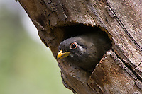 Elegant Trogon at Nest, female; Chiricahua Mountains, Arizona