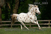 Bob, ANIMALS, REALISTISCHE TIERE, ANIMALES REALISTICOS, horses, photos+++++,GBLA3685,#a#, EVERYDAY